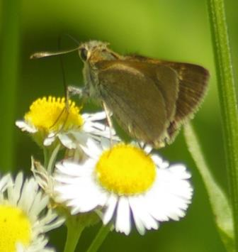 This week a new skipper appeared in Mayslake's main prairie. This is one that closes the wings at least part way, and had practically no detail beneath.