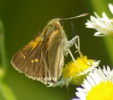 With the wings partly open there clearly is some color on the leading edge of the forewing, and small groups of dots. It appears to be a tawny-edged skipper.