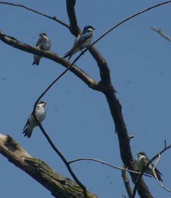 Yesterday this tree swallow brood occupied a dead tree at the stream corridor marsh.