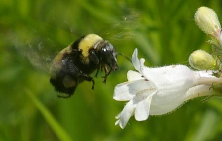 The first sighting of Bombus auricomus at Mayslake Forest Preserve was on June 14 this year.