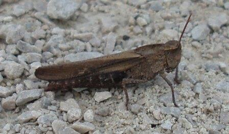 It was on the trail, had the colors of a green-striped grasshopper, but was large, perhaps an inch and a quarter long.