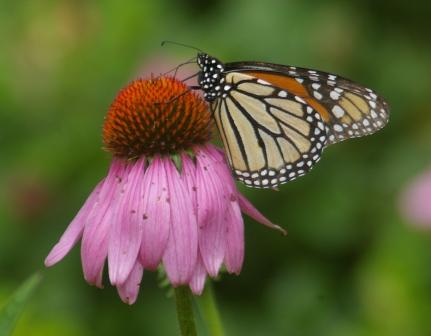 The first monarch butterfly arrived from the South on June 13 (and yes, this is a photo from an earlier year).