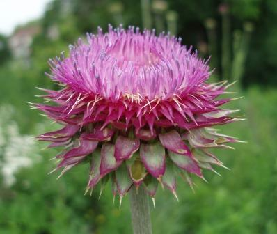 Musk thistle, less desirable in the landscape but beautiful nevertheless, first bloomed on the same day.