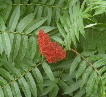 Staghorn sumac first opened flowers on June 14 at Mayslake Forest Preserve this year.