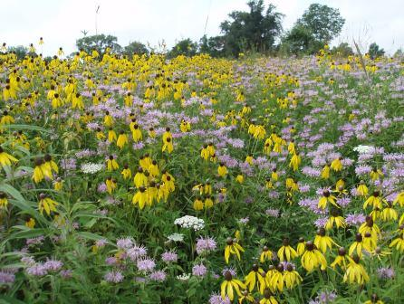 Banks of yellow coneflowers and wild bergamot are providing gorgeous backdrops.