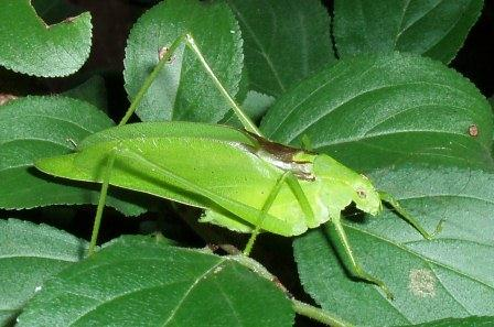 The oblong-winged katydid's song has been described in several different ways, for instance.