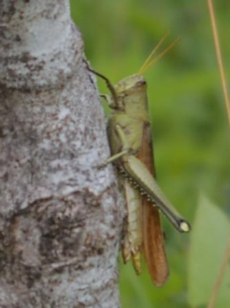 It was noticeably larger than the Carolina grasshopper, the most common large grasshopper in the region.