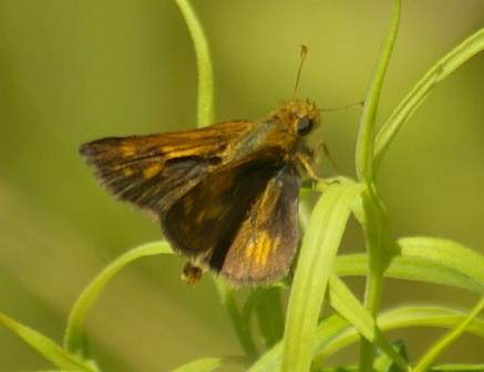 There have been a few tawny edged skippers this year, a species I have seen at Mayslake before but not in most years.