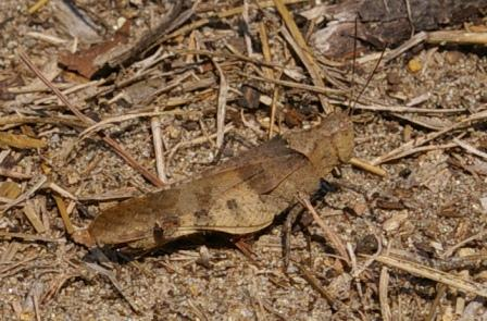 Here is a Boll's grasshopper at Illinois Beach State Park. This one is separated from the previous individual by only two counties' distance.