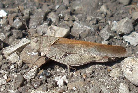 Grasshopper colors can vary considerably with habitat, as they are strongly selected to match local background patterns. I can find no match for this color pattern in any of my references. This individual was on an old railroad bed in a savanna.
