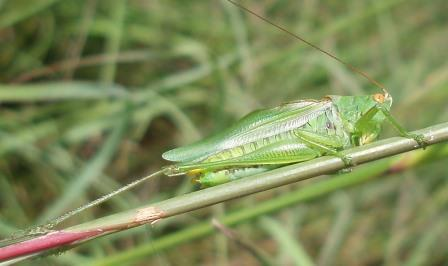 Despite its name, the common meadow katydid is much less frequently encountered than two of its congeners, the gladiator and black-legged meadow katydids.