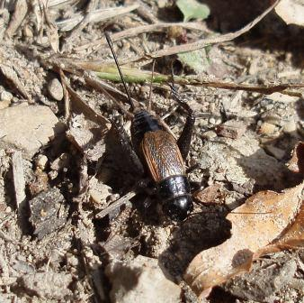 Fall field cricket (female). The spring field cricket looks just like this; only their seasons separate them.