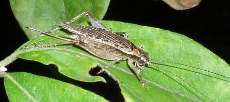 Jumping bush cricket. They are about the same size as a field cricket, but live in trees rather than on the ground.