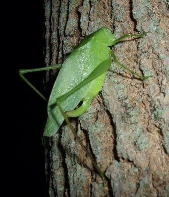 This oblong-winged katydid female was emitting single clicks in response to the more complex songs of nearby males.