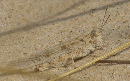 The leg colors are hidden in the usual resting posture, which proves how well camouflaged these insects are. Seaside grasshopper, Indiana Dunes State Park.