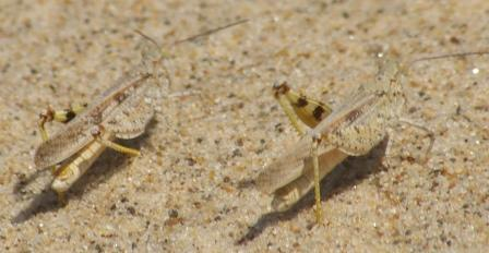 Two seaside grasshoppers flash their colors to one another. Warren Dunes State Park, Michigan.