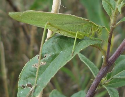 There were a few broad-winged bush katydids in the prairie, but I wasn't successful in stalking one. This Texas bush katydid had to substitute.