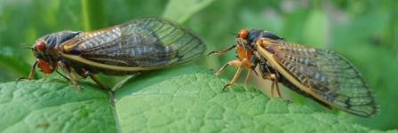Two species of periodical cicadas were the subject of the paper. The larger Magicicada septendecim (Linnaeus' 17-year cicada) is on the left, M. cassini (Cassin's 17-year cicada) on the right.