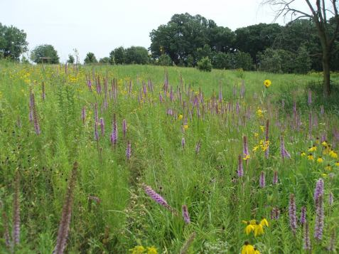 Part of one of Mayslake's prairies on August 12.