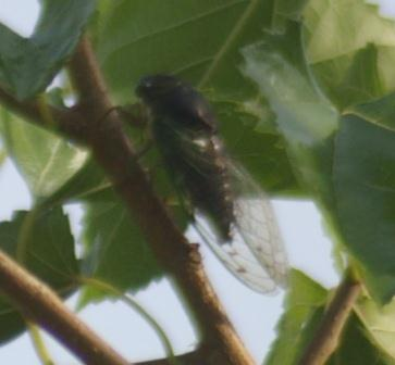 Swamp cicada. This species is largely black, highlighting the white patches at the anterior end of the abdomen.