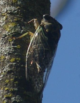 Scissor-grinder cicadas occur in greater densities at Mayslake than in any other place I have found them to date.