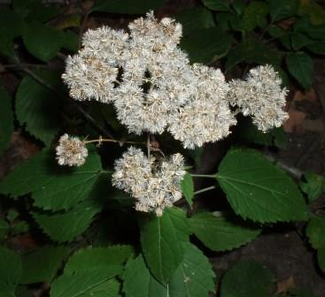 White snakeroot seeds, parachutes unfurled and waiting to be carried away.