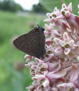 Another species in the group, the banded hairstreak.
