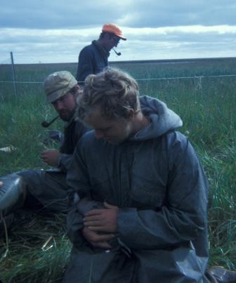 A banding session. I am holding a cackling goose in the foreground, as Dave Eisenhauer (whose thesis work was on emperor geese) looks on. In the background is Dr. Cal Lensink, then refuge manager for the Fish and Wildlife Service.