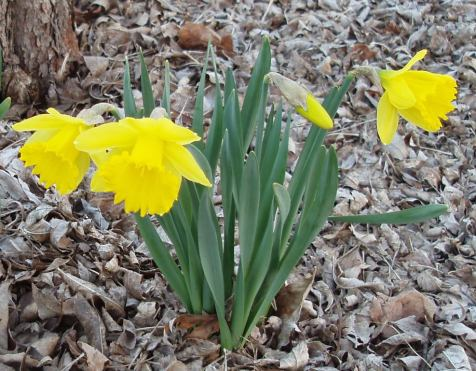 Daffodils. The following study looked at the genetic controls of the trumpet-like corona on the front of the flower.
