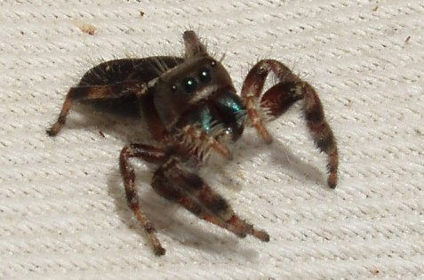 Jumping spiders in genus Phidippus have iridescent chelicerae, and the family's characteristic large eyes.