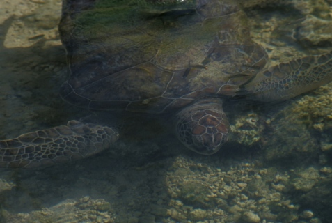 A sea turtle, either the green sea turtle of the previous study or a close relative.