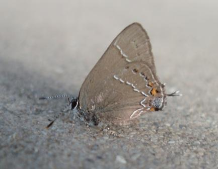 The southern (oak) hairstreak is related to the species in this study. Note the antenna-like extensions on the corners of the hind wings.