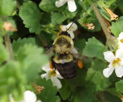 Bombus impatiens worker. This is practically the only species of bumble bee we see in the Chicago area from August on.
