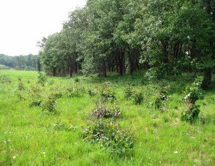 Oak woodlands on sandy soils, including this one at Jasper-Pulaski Fish and Wildlife Area, are where I heard this song.
