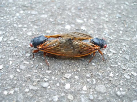 Cassin's 17-year cicadas, mating pair