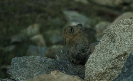 Pika, Rocky Mountains National Park