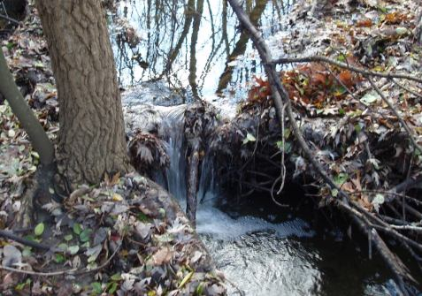 The dam was formed by tree roots which captured a few sticks, with gaps filled by drifting leaves and other debris.