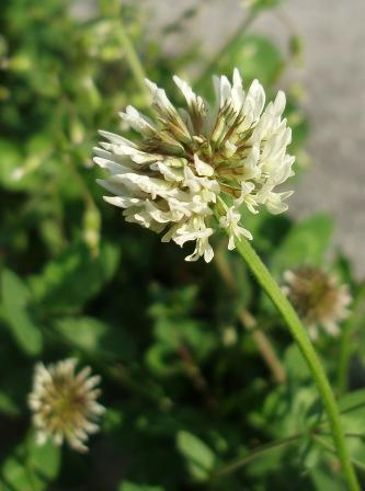 White clover flower. This introduced legume has flowers strongly attractive to bees.