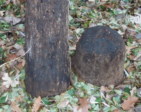 The stump is on the right, with a stem of similar color and diameter beside it. Both have lost their bark.