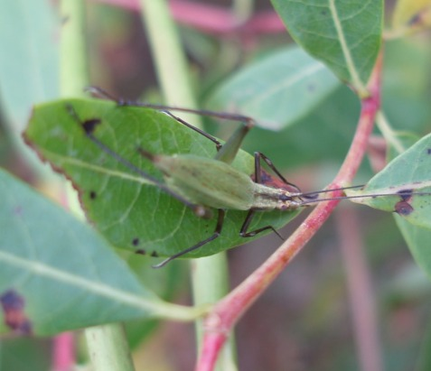 Forbes's tree cricket is highly variable, but usually has some dark markings.