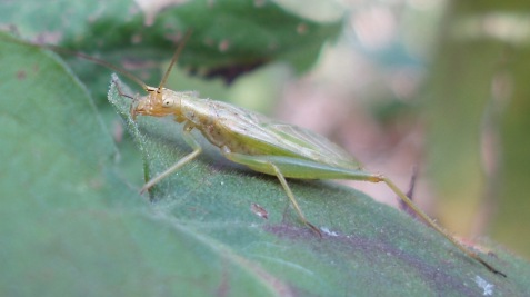 Four-spotted tree crickets are pale.