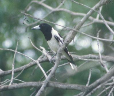 This bird is well named, both for its piebald color pattern and its shrike-like predatory habits.
