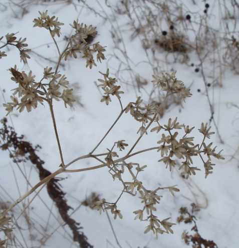 Tall boneset winter top. The seeds have dispersed.
