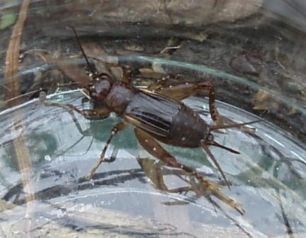 The Carolina ground cricket has faint head stripes. The female is distinguished by an unusually short ovipositor.