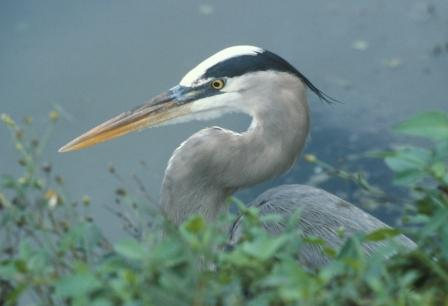 It is no longer so great a stretch to refer to birds, including this great blue heron, as dinosaurs.