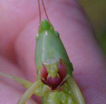 The cone of the marsh conehead may be all green as in this female, or show variable darkness of color.