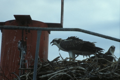 Osprey nest, Chesapeake Bay. Somehow, life survived these calamaties.