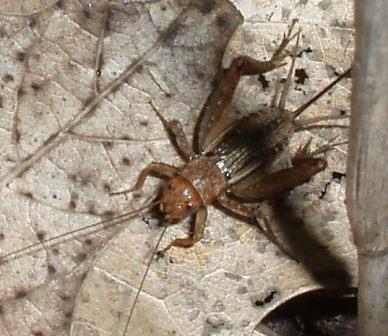 Tinkling ground crickets have reddish tones that distinguish them from our other ground crickets.