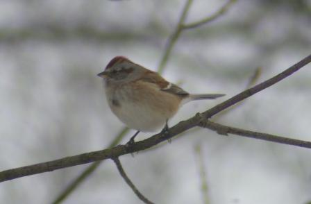American tree sparrow. The black spot in the clear chest is a helpful identification feature.