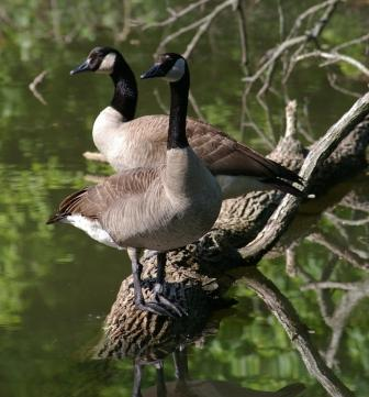 A pair of Canada geese